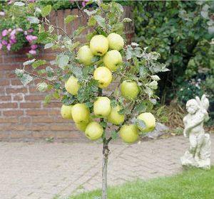 Sadnice mini voća