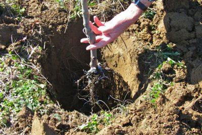 Prolećna sadnja voćaka – Kada i kako se obavlja!